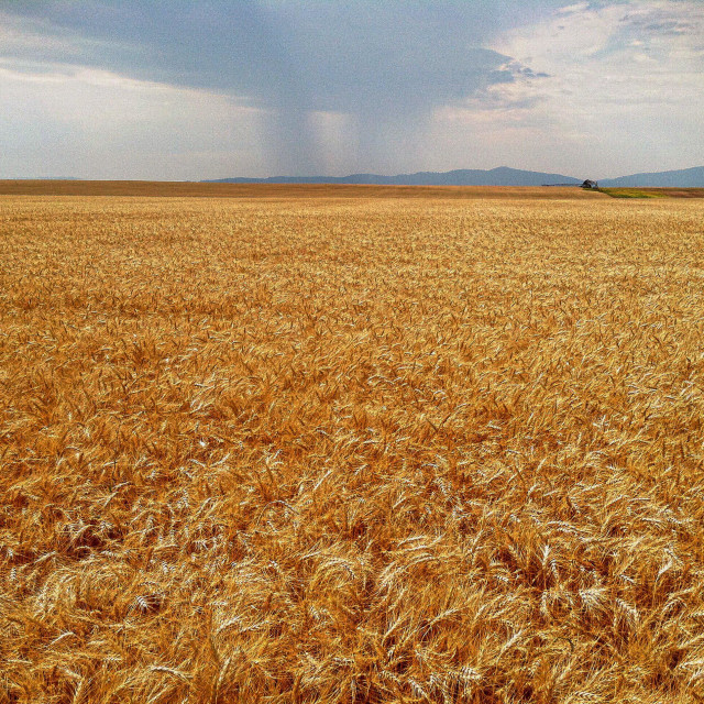 """""""Storm clouds drop rain over wheat fields in North Idaho."""" stock image"""