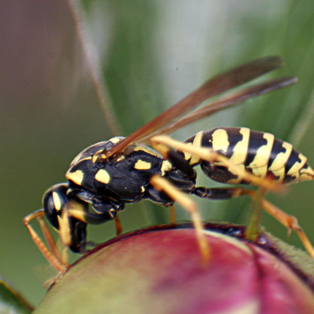 """""""A yellow jacket is seen on top of a flower."""" stock image"""