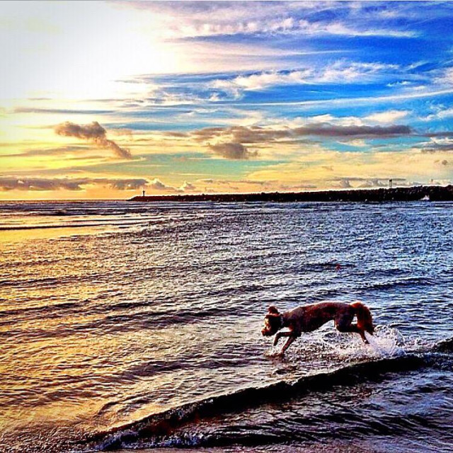"""""""Golden doodle running in the waves of the Pacific Ocean at sunset."""" stock image"""