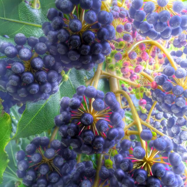 """Blackberries on a bush"" stock image"