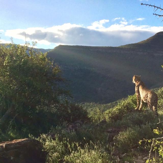 """Cheetah surveying the land"" stock image"