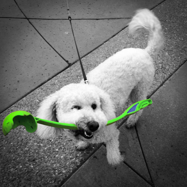"""""""A white poodle begging to play tennis ball fetch with a lime green throwing stick"""" stock image"""