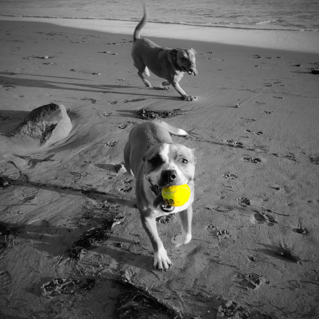 """""""Dogs on the beach playing fetch with a yellow tennis ball"""" stock image"""