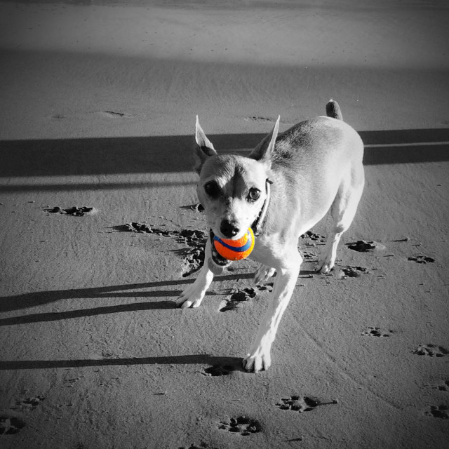 """""""Dog playing fetch with a ball on the beach"""" stock image"""
