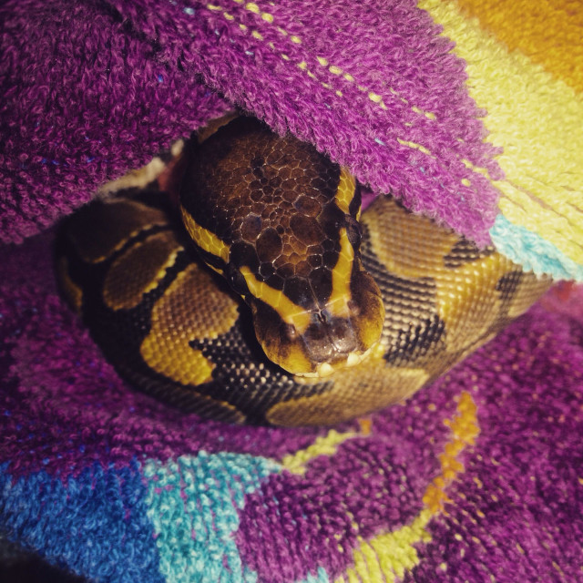 """A ball python in a colourful towel"" stock image"