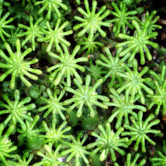 """Liverwort flowers"" stock image"