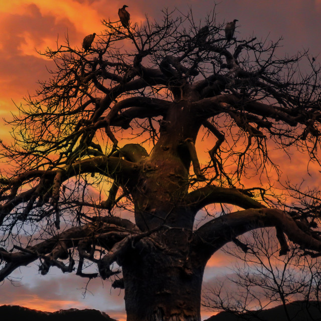 """Vultures in a Baobab tree"" stock image"