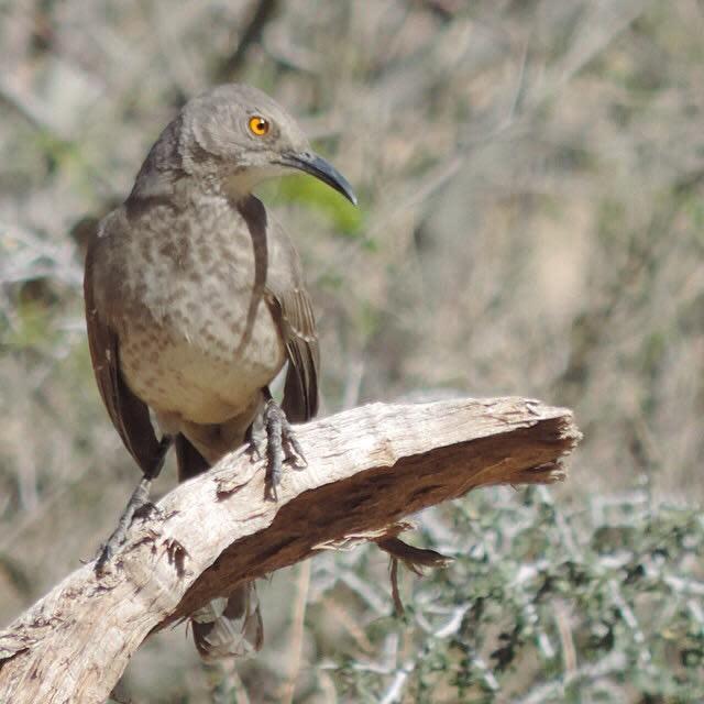 """Brown thrasher at Big Bend National Park."" stock image"