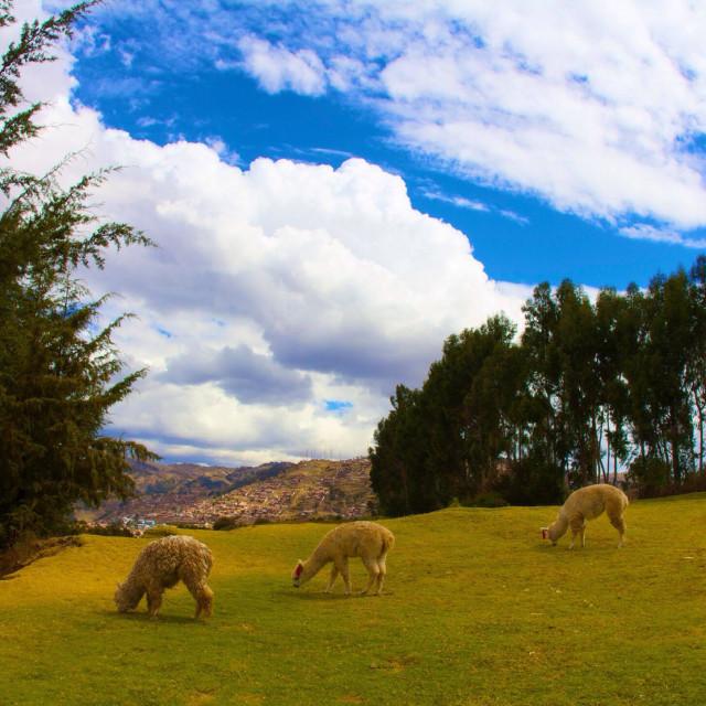 """Llama grazing in Peru"" stock image"