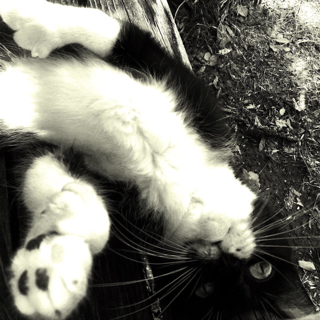 """""""Black and white cat on her back."""" stock image"""