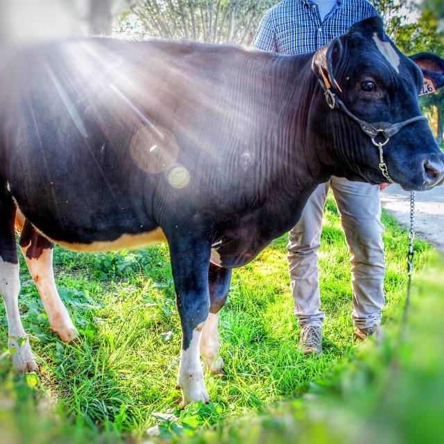 """Holstein calf"" stock image"