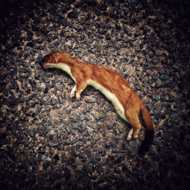 """Dead stoat in the road"" stock image"