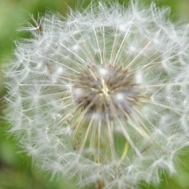 """Dandelion fluff"" stock image"