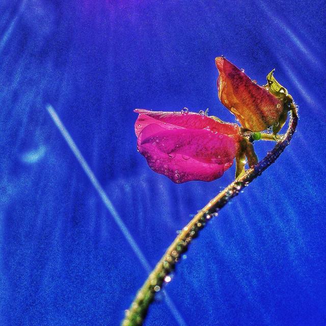"""Sweet pea ,Lathyrus Odoratus."" stock image"