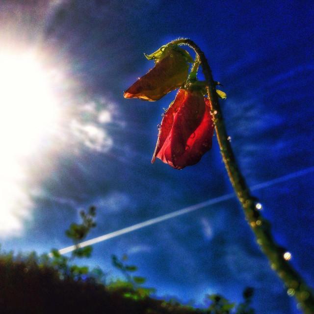 """""""Lathyrus Odoratus, sweet pea buds."""" stock image"""