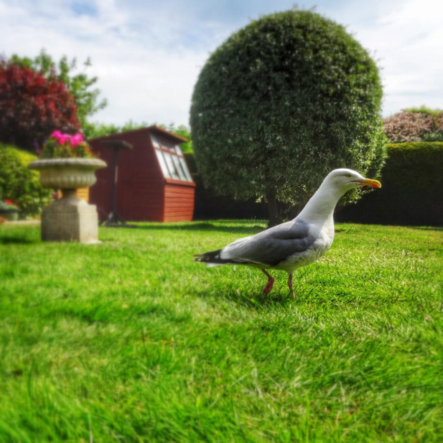 """Herring gull staking out his territory in a domestic garden."" stock image"