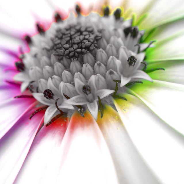 """""""Colour popped image of a Cape daisy"""" stock image"""