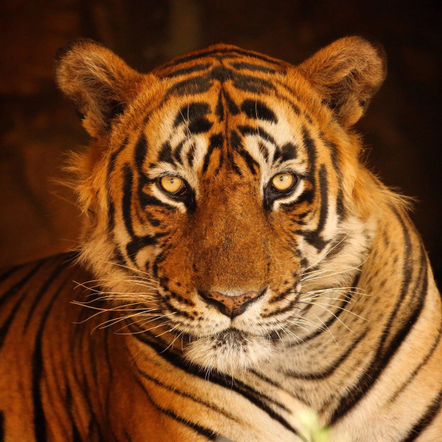 """""""Tiger in Ranthambore National Park, India"""" stock image"""