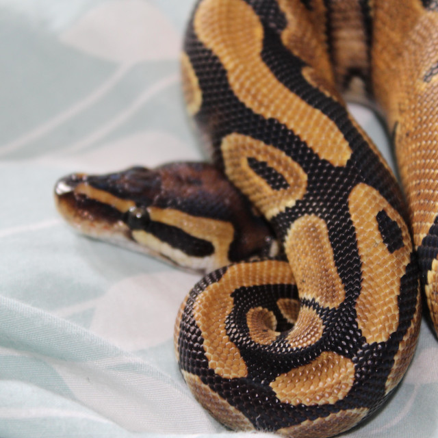 """A normal Ball Python residing on bed sheets."" stock image"