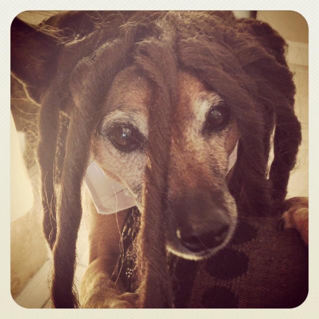 """Brown dog wearing Dreadlock wig."" stock image"