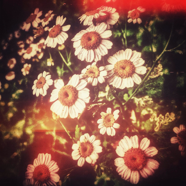 """Daisies in flared light"" stock image"