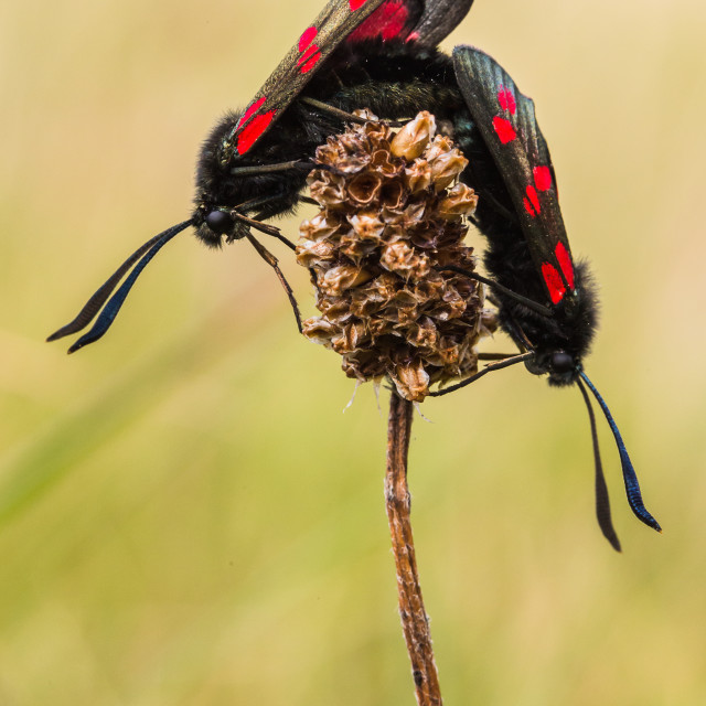 """Pair of Burnet moths mating in the sand dunes"" stock image"