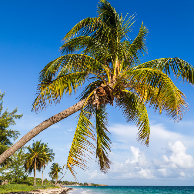 """Palm tree on Cayo Coco"" stock image"