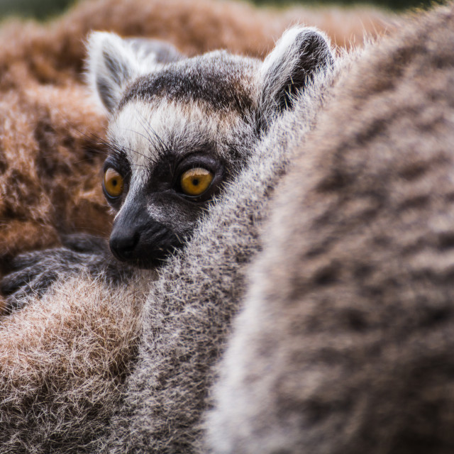 """Baby Ring tailed lemur"" stock image"