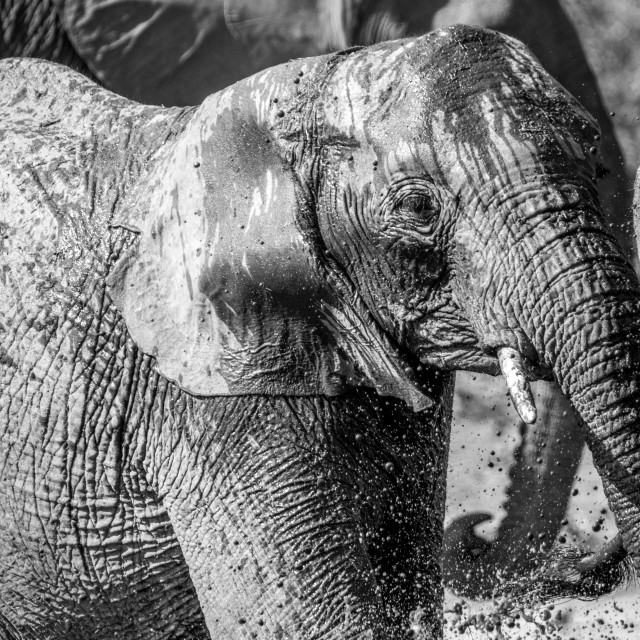 """""""Elephant taking a bath in black and white."""" stock image"""