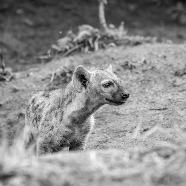 """""""Baby Spotted hyena in black and white."""" stock image"""