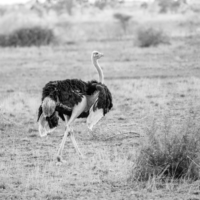 """""""Ostrich walking in the grass in black and white."""" stock image"""
