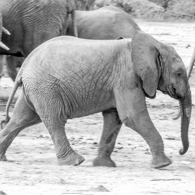 """""""Young Elephant walking in black and white."""" stock image"""