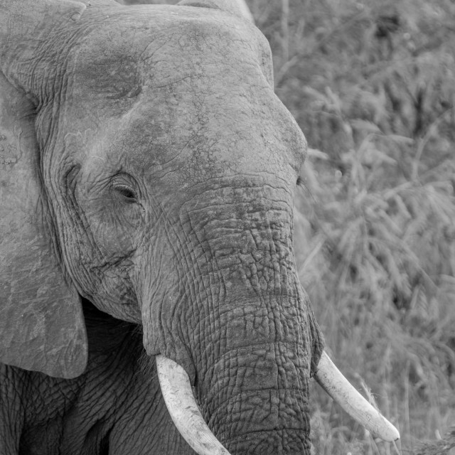 """""""Side profile of an Elephant in black and white."""" stock image"""