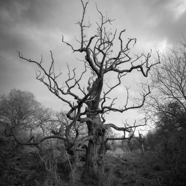 """""""Old Tree in black and white"""" stock image"""