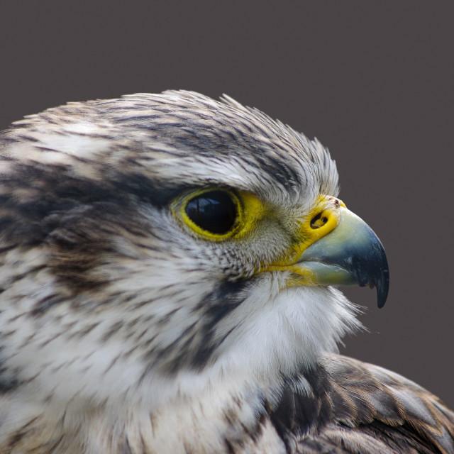 """Saker falcon profile"" stock image"