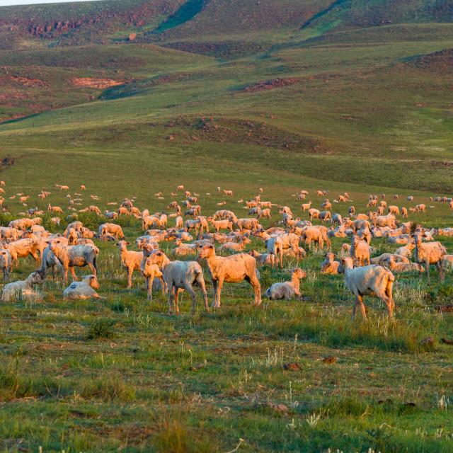 """Sheep Herd Mountains"" stock image"