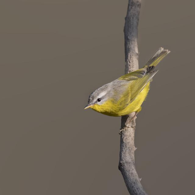 """Grey-hooded warbler (Phylloscopus xanthoschistos)"" stock image"