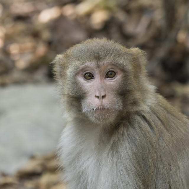 """Rhesus macaque"" stock image"