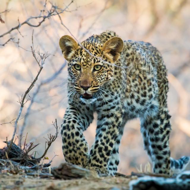"""Leopard cub"" stock image"