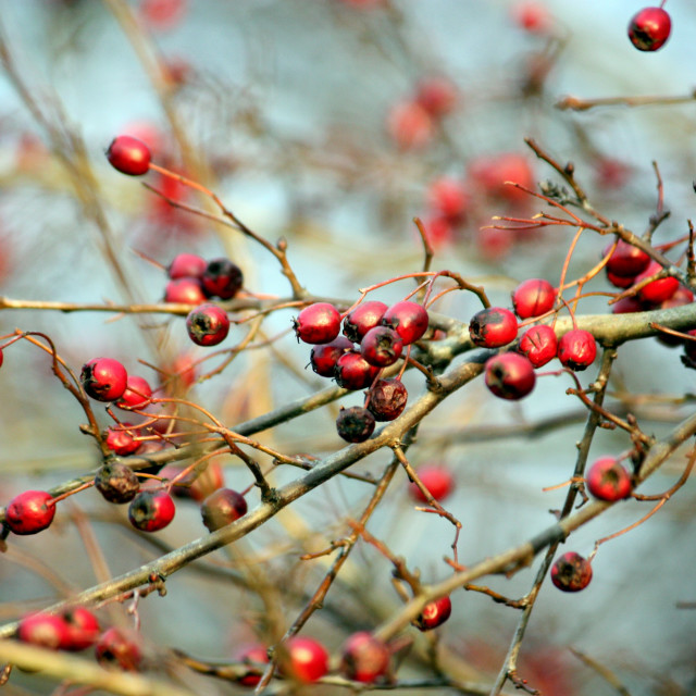 """Red berries 1"" stock image"