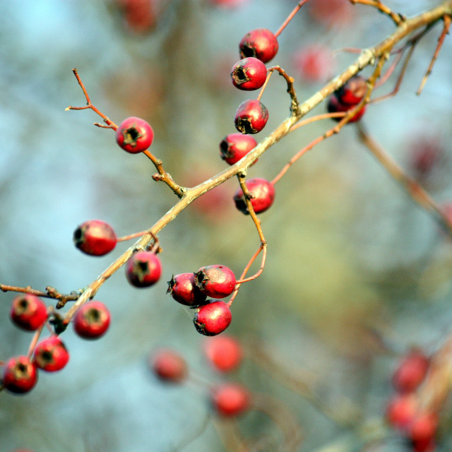 """Red berries 2"" stock image"