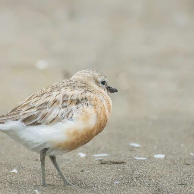 """Lonely Dotterel"" stock image"