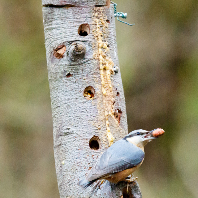 """Blue tit and nuthatch"" stock image"