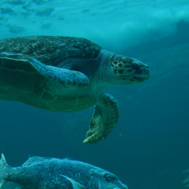 """""""Endangered Loggerhead Sea Turtle"""" stock image"""