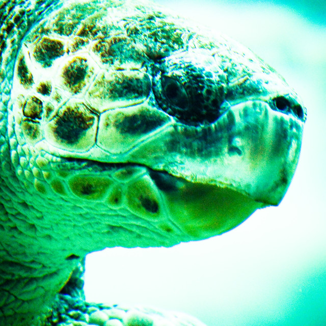 """Endangered Loggerhead Turtle"" stock image"