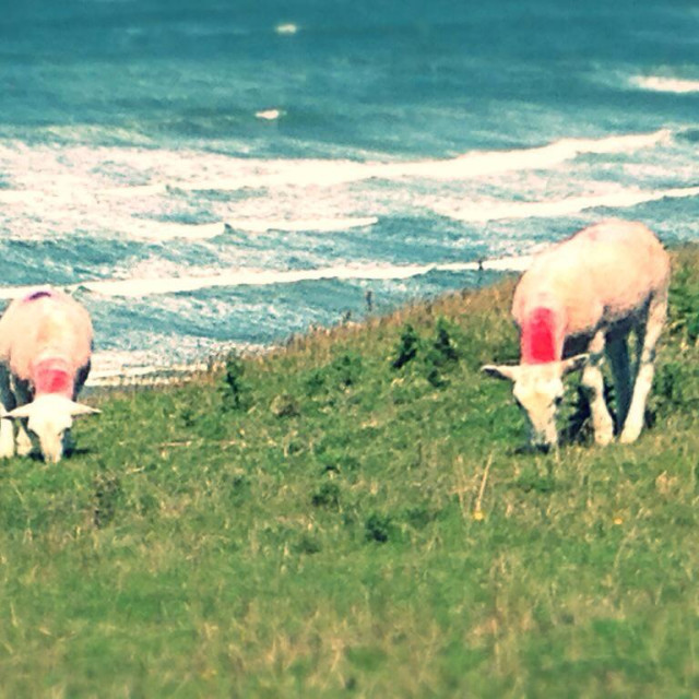 """Sheep grazing on cliffs at Rhossili Bay, Gower."" stock image"