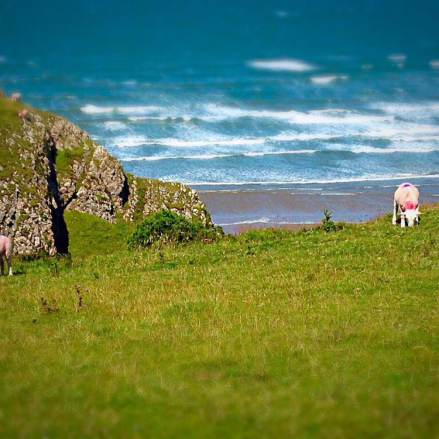 """Sheep graze on hill at Rhossili Bay, Gower"" stock image"