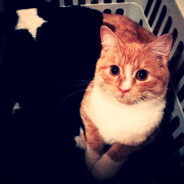 """""""Cat in washing basket looking straight at the camera"""" stock image"""