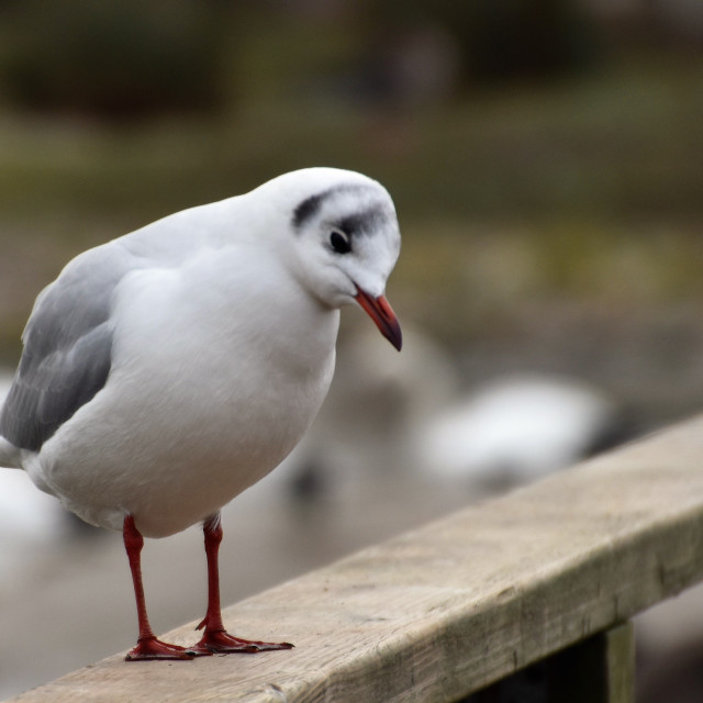 """Sad Seagull"" stock image"
