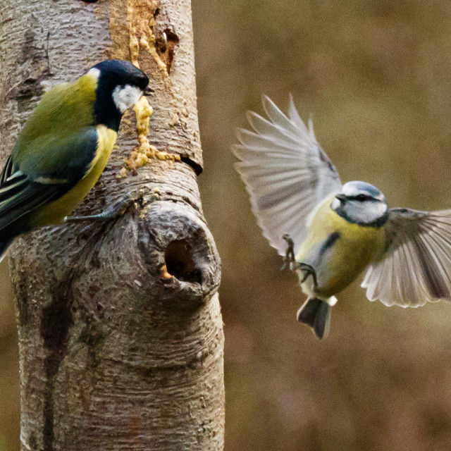 """Blue tit and great tit."" stock image"